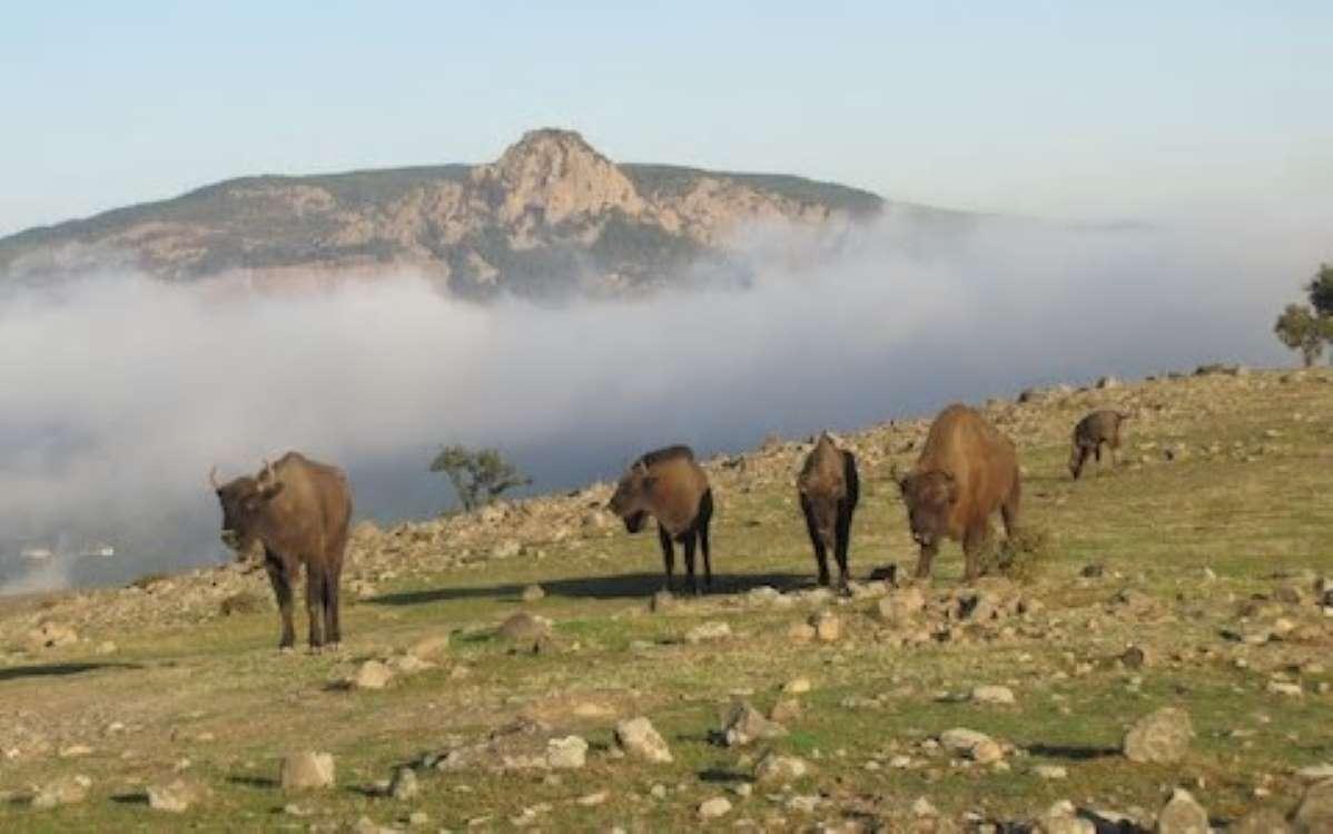 Бизоните се завръщат в България след 800 години
