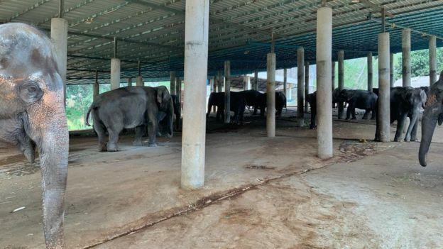Тайландските слонове са заплашени от глад след срива на туризма в страната