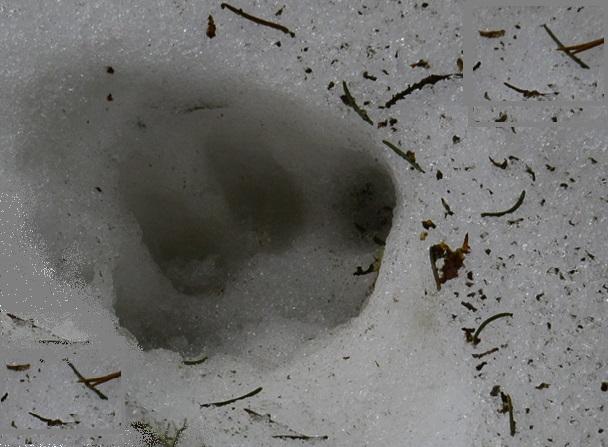 """Откриха следа от рис при теренни проучвания в Национален парк """"Рила"""""""