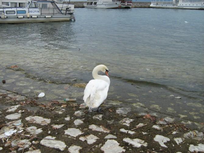 Българка причини смъртта на лебед заради селфи на Охридското езеро